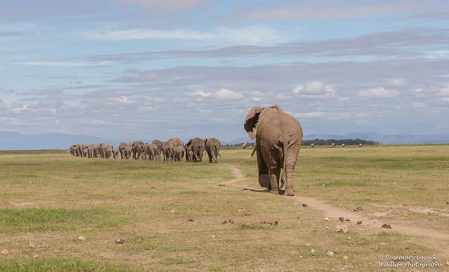 African Elephants - Loxidonta africana