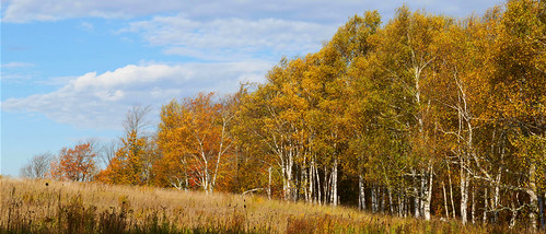 birch paperbirch whitebirch oldfield panorama landscape dufferincounty ontario canada