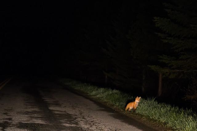 Fox Kit on Road - South Richford