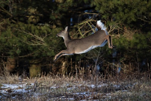 Photo of deer bounding over snowy ground