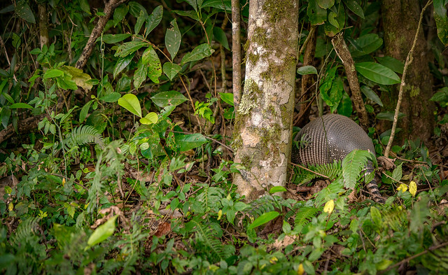 Cloud forest Armadillo