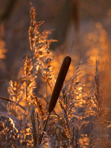bullrush reeds sunset