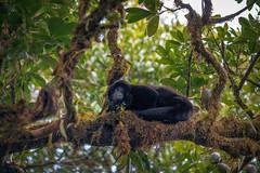 Howler Monkey in Costa Rica