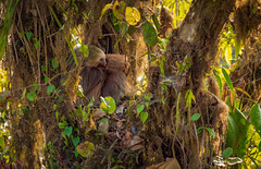 Monteverde Sloth