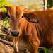 Costa Rica Cow