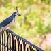 White-throated magpie-jay bird
