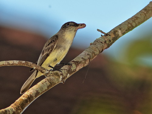 Eastern Phoebe with caterpillar 01-20191206