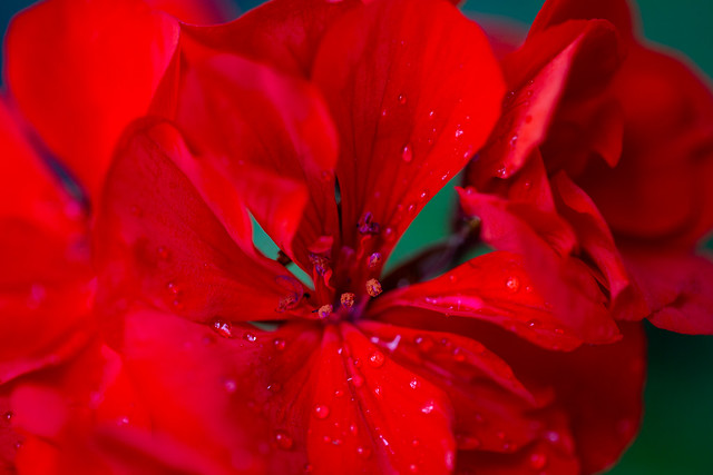 Geranium with Raindrops