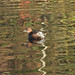 GREBE CASTAGNEUX dans les reflets de l'automne - Parc Nord des Ulis