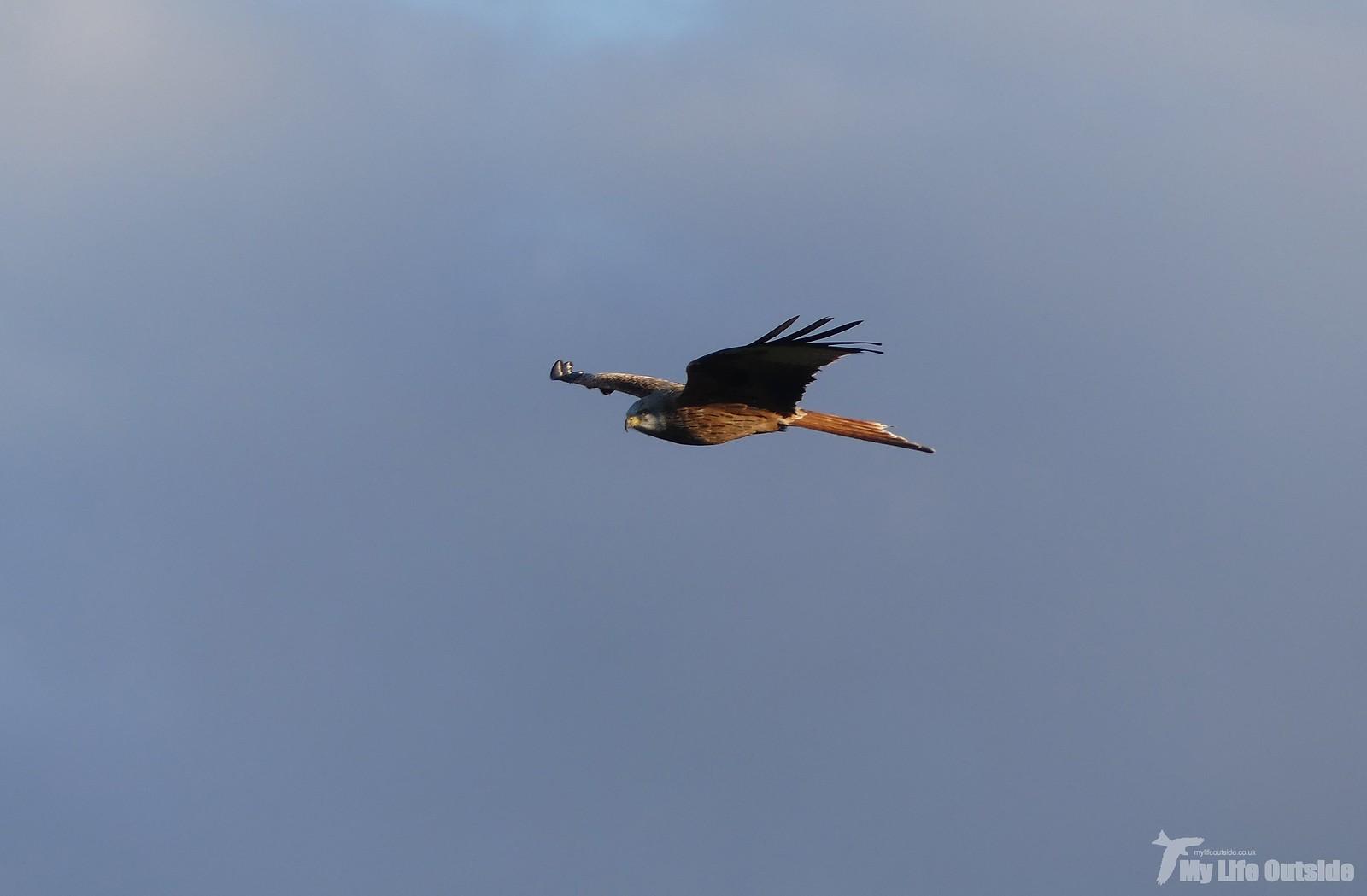 P1230070 - Red Kite