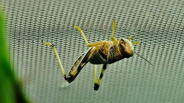 Heuschrecke hängt unter der Decke