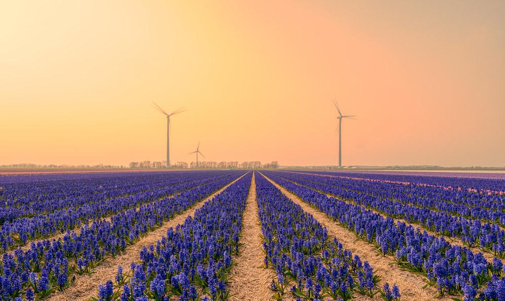 Foggy fields of hyacinths.