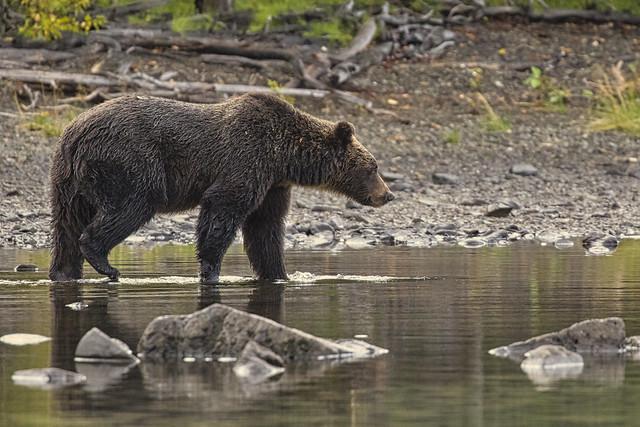 Salmon Stalker