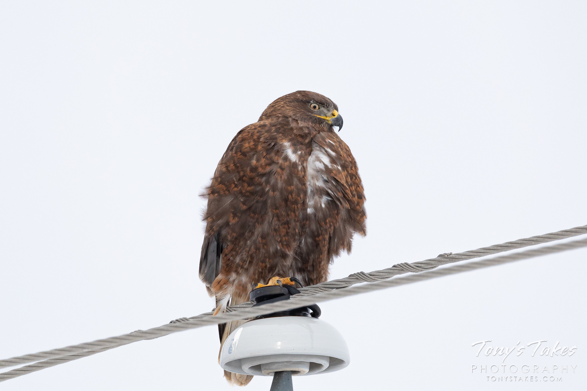 A dark morph ferruginous hawk stakes out a roost on a pole in Colorado. (© Tony's Takes)