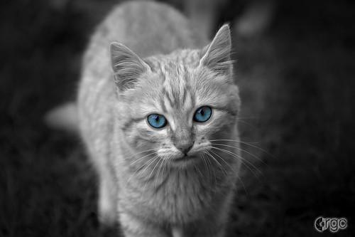 Gato silvestre. Desaturado selectivo