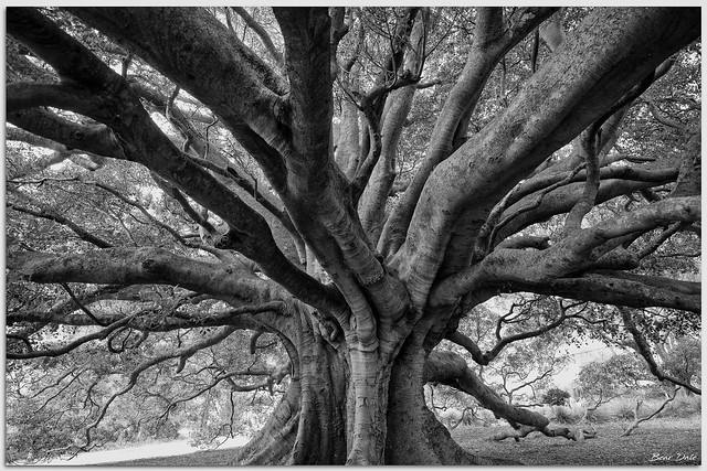 200+ Year Old Moreton Bay Fig Tree in Monochrome