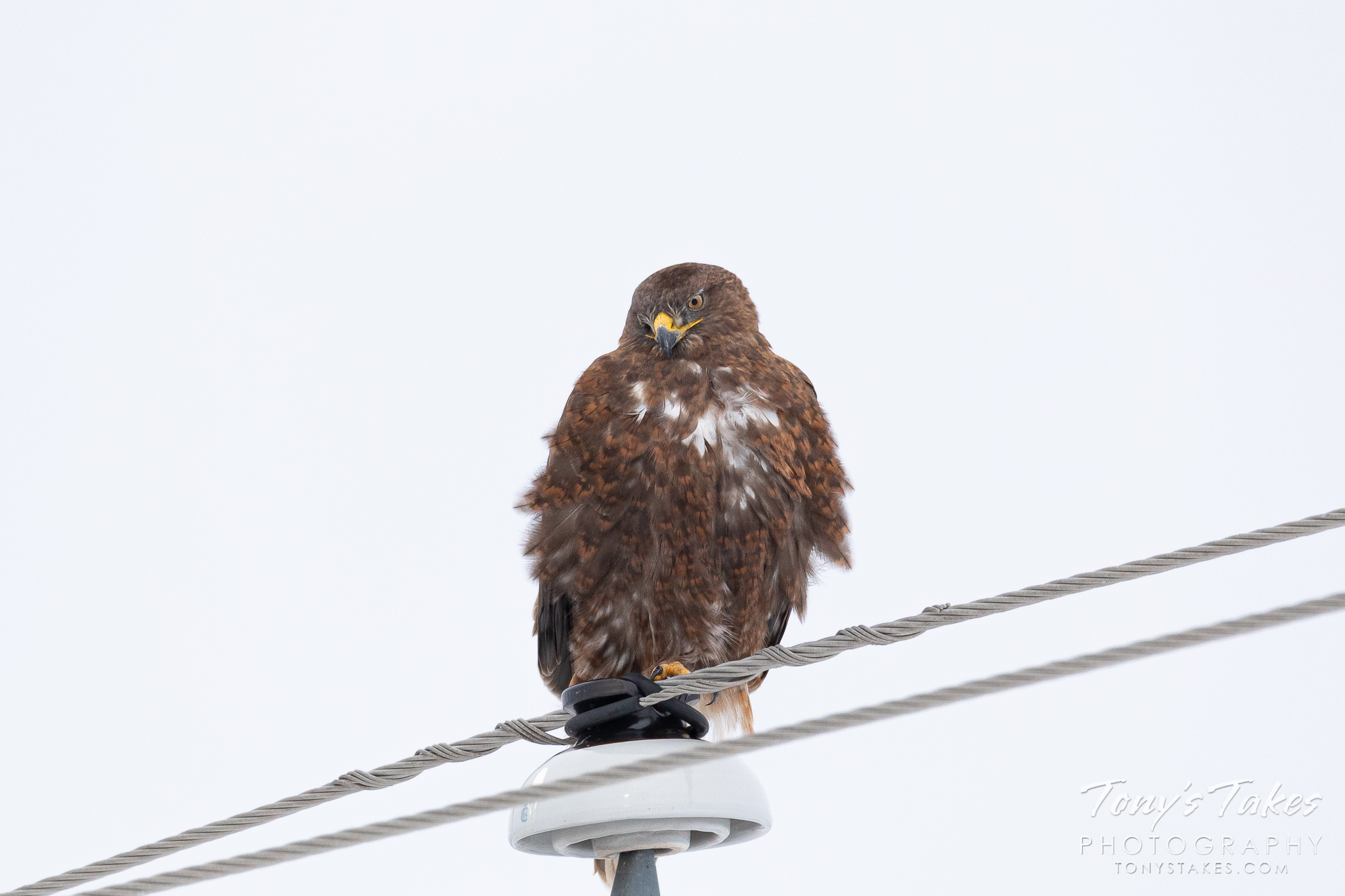Dark morph ferruginous hawk waits for warmer weather