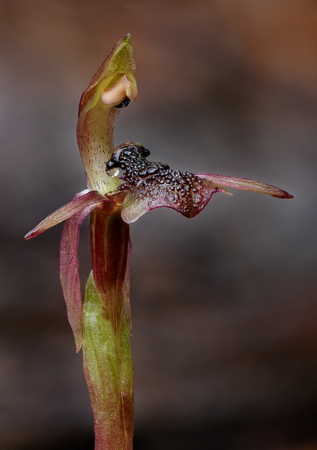Common Ant Orchid (Chiloglottis formicifera) - endemic to NSW