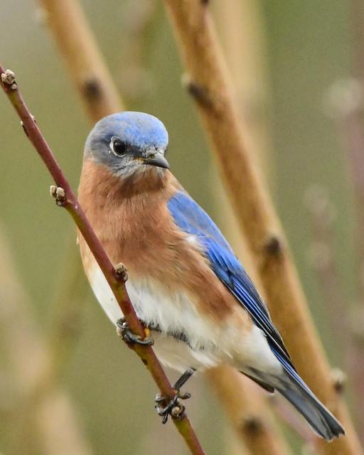 Bluebird-4584