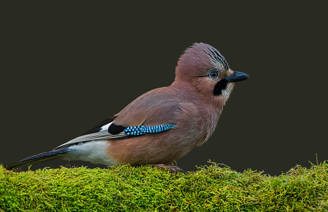 Eurasian Jay ( Garrulus glandarius )  - Crest Raised !!