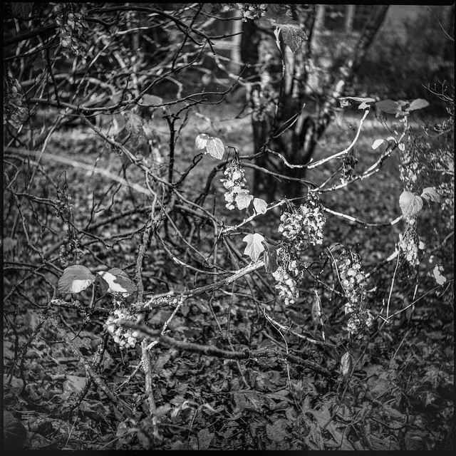 grand old shrub, last leaves and dried blossoms, yard, Asheville, NC, Ricohflex Dia M, Fomapan 200, HC-110 developer, 11.16.19