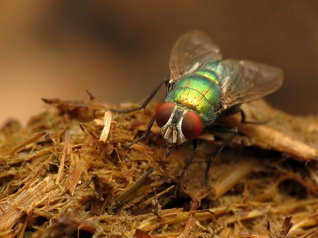 Blue-green Bottle Fly