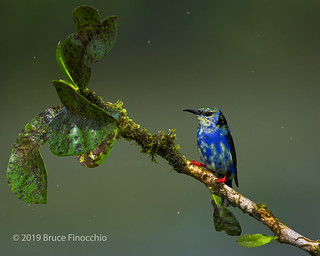 A Perched Male Red-legged Honeycreeper Coming Into Breeding Plumage During A Light Rain