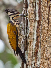 Common Flameback  (由  chongjiayi