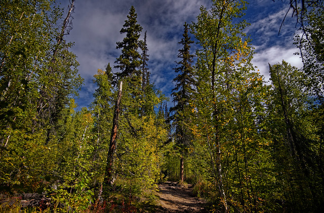 Yellows and Greens of a Forest While Hiking the Angel Rocks Trail in the Chena River State Recreation Area