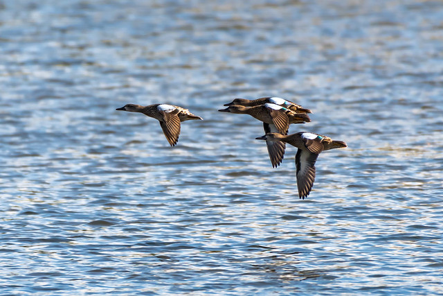 Squadron of wigeons