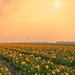 Delighted Dutch Daffodils.