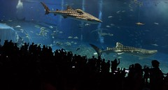 Whale Sharks at Churaumi Aquarium