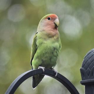 Rosy-faced Lovebird Posing in Gilbert, Arizona on November 28, 2019
