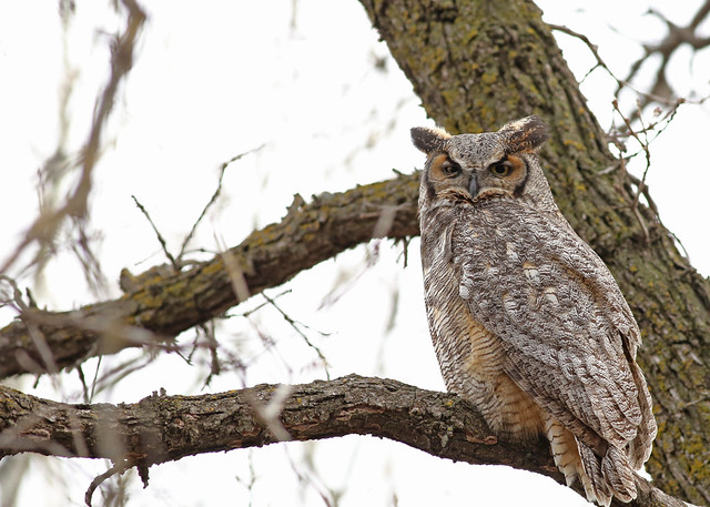 Great Horned Owl...#2