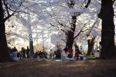 Misc Sakura Snap  (由  Lilywhites2009