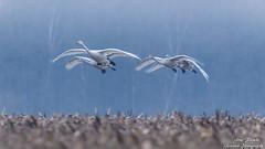Singschwäne (Cygnus cygnus)©Arne Flemke