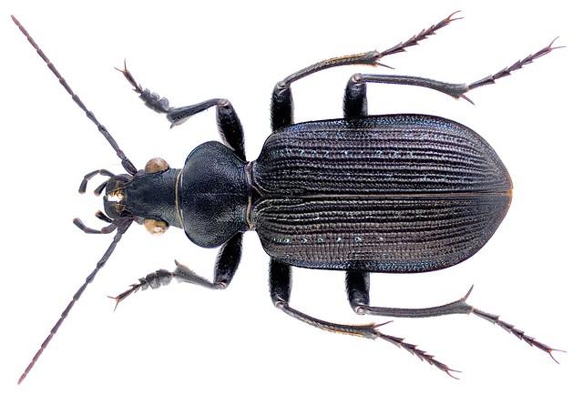 Calosoma senegalensis Dejean, 1831