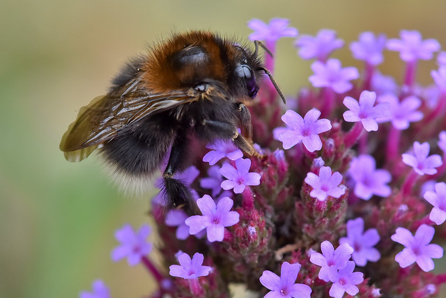 Bourdon  sur une verveine de Buenos-Aires   -  Bumblebee on purpletop vervain