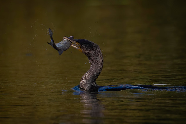 Cormarant fish fight