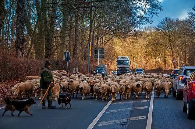 Tierische Verkehrs