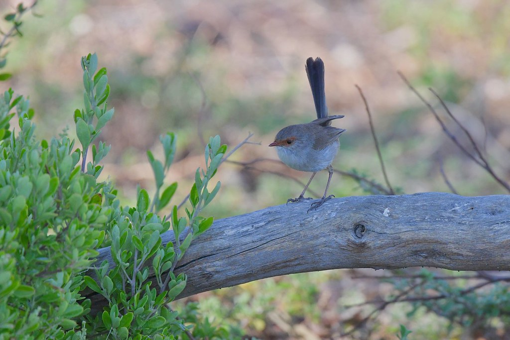 Superb Fairy- wren