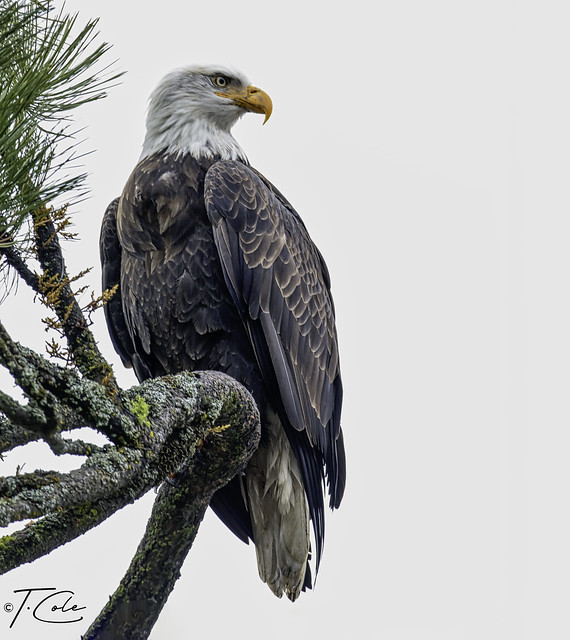 Bald Eagle December 5th 2019