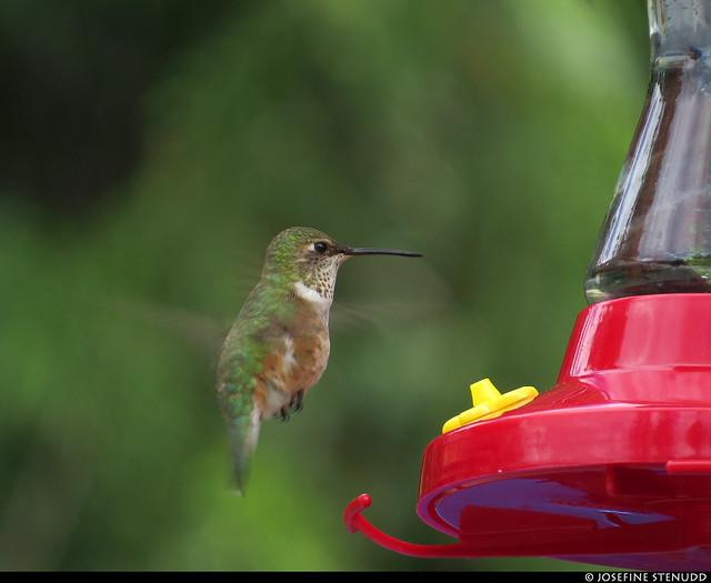 20180612_24 Female rufous hummingbird (Selasphorus rufus) hovering by feeder - Canyon Hot Springs, British Columbia, Canada
