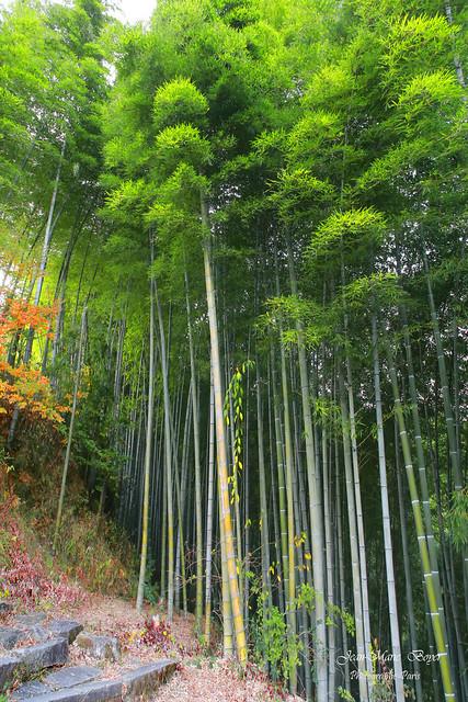 Forêt de bambou à Chengkan.