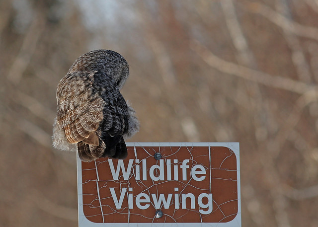 Great Gray Owl...#13... viewing wildlife...