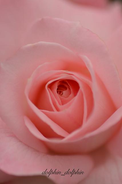 Rose 2019