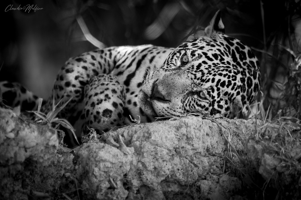 Yaguarete (Panthera onca)