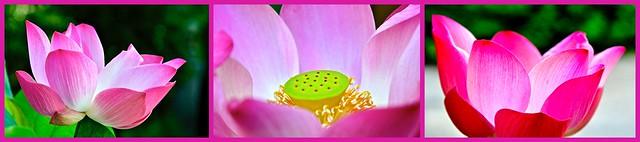 Thaïlande 2019 - Bangkok - Fleur de Lotus