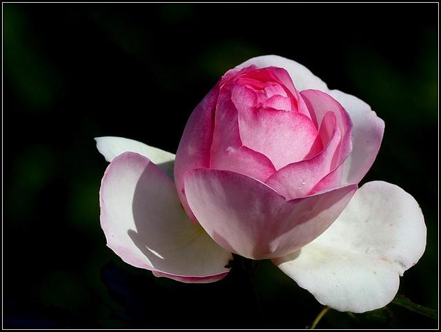ma rose préférée, deux fois !!! 2019