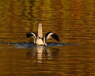 American avocet landing